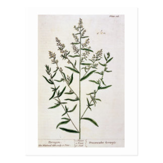 Tarragon, plate 116 from 'A Curious Herbal', publi Postcard
