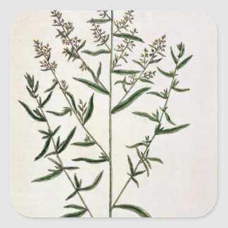 Tarragon, plate 116 from 'A Curious Herbal', publi Square Sticker