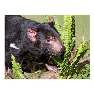 Tasmanian Devil, Australia Postcard