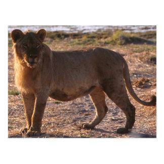 Tau, Lion, Photo Post Card