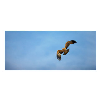 Tawny Eagle (Aquila Rapax) In Flight, Kgalagadi Poster