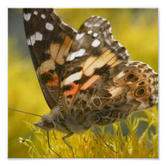 Tawny Emperer Butterfly Poster