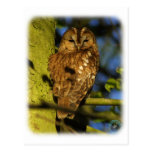 Tawny Owl 8T014D-17 Postcard
