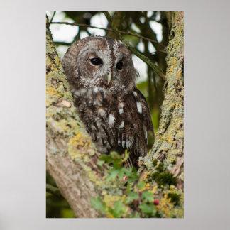 Tawny Owl Poster