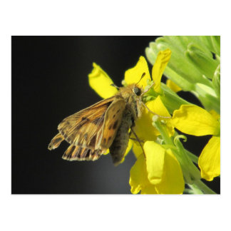 Taxiles Skipper Butterfly Postcard