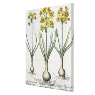 Tazetta Narcissi,  from the 'Hortus Eystettensis' Canvas Print