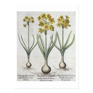 Tazetta Narcissi,  from the 'Hortus Eystettensis' Postcard