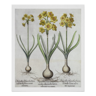 Tazetta Narcissi,  from the 'Hortus Eystettensis' Poster
