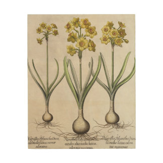 Tazetta Narcissi,  from the 'Hortus Eystettensis' Wood Print