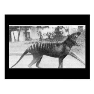 tazmanian tiger postcard