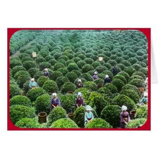 Tea Harvesters in the Field (circa 1902) Card