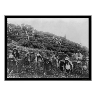 Tea Pickers in Himalayas 1901 Poster