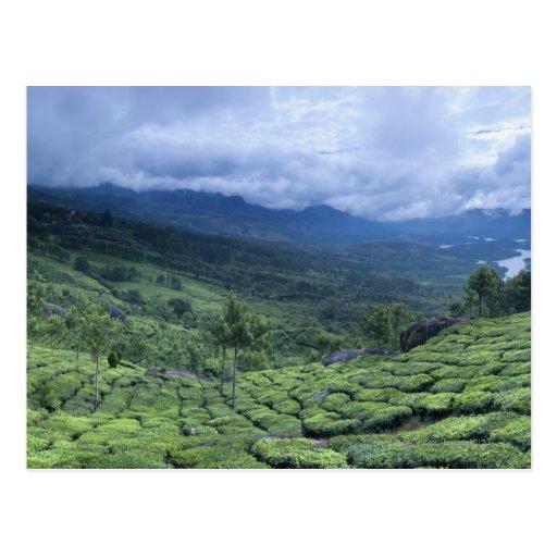 Tea plantation 2 Kerala state India Post Card