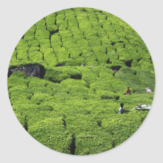 Tea plantation harvest of lush green plants classic round sticker