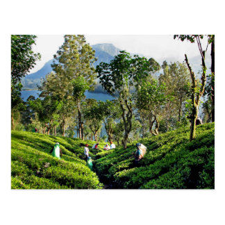 Tea Plantation Postcard