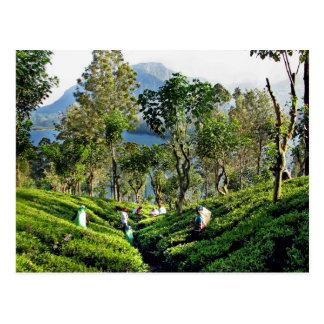 Tea Plantation Postcard