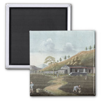 Tea planting (w/c on paper) magnet