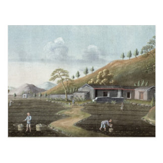 Tea planting (w/c on paper) postcard
