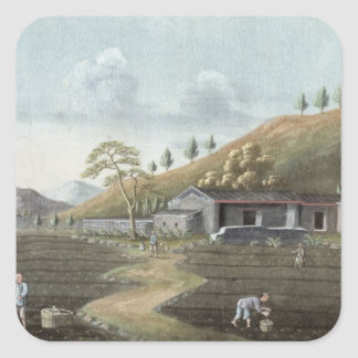 Tea planting (w/c on paper) square sticker
