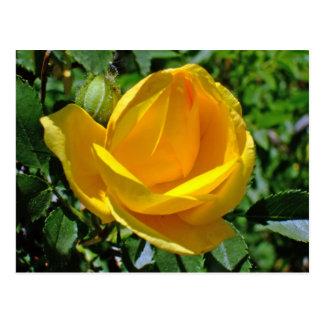 Tea Rose Flower in Yellow Postcard