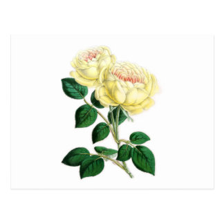 Tea Rose, Madame Margottin Postcard