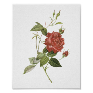 tea rose(Rosa indica cruenta) by Redouté Poster
