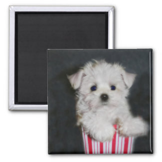 teacup maltese 2 inch square magnet