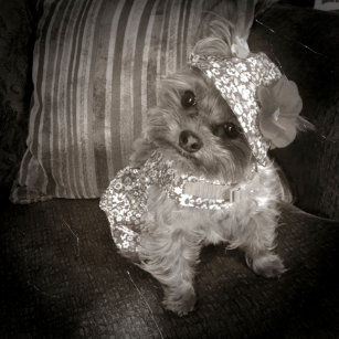 Teacup Yorkie Home Décor Furnishings Pet Supplies Zazzle