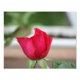 Tear of a Rose Bud Photo Print