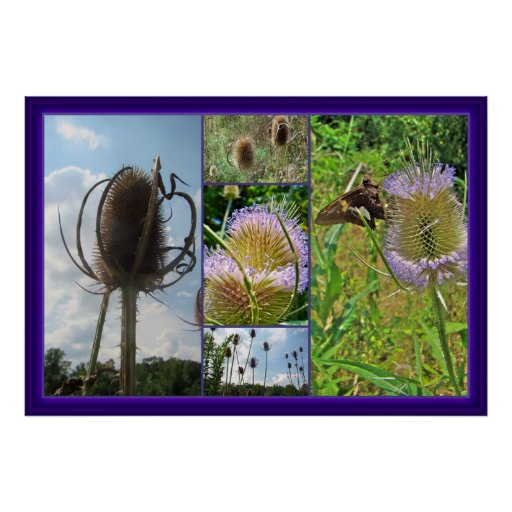 Teasel Thistle - Dipsacus fullonum Poster