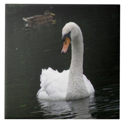 Teja blanca del cisne