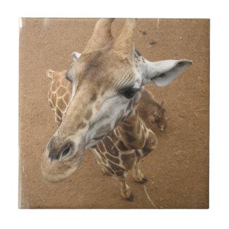 Teja de la mirada de la jirafa