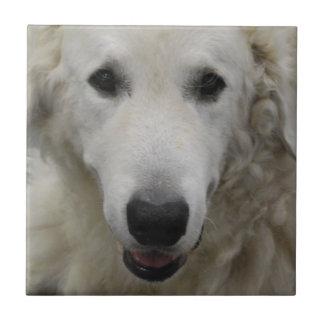 Teja de la raza del perro de Kuvasz