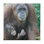 Teja de los orangutanes
