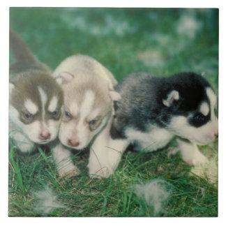 Teja de los perritos del husky siberiano