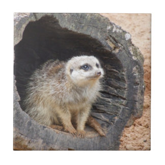 Teja de Meerkat