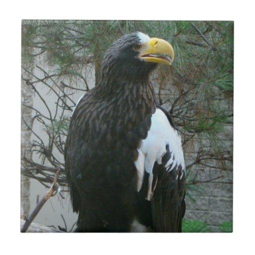 Teja de Stellers Eagle