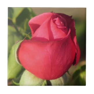 Teja del brote del rosa rojo