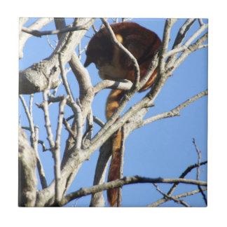 Teja del canguro de árbol