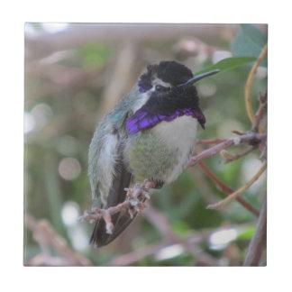 Teja del colibrí de la costa