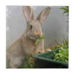 Teja del conejo de conejo de rabo blanco