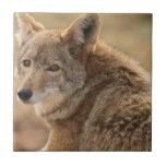 Teja del coyote