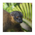Teja del Lemur de Brown