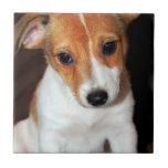 Teja del perro de perrito de Jack Russell Terrier