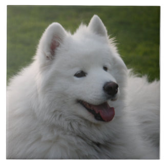Teja del perro del samoyedo