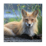 Teja hermosa del retrato de la foto del zorro rojo