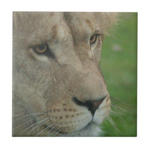 Teja joven del león