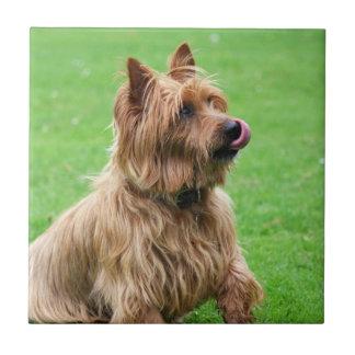 Teja o trivet hermosa del perro de Terrier austral