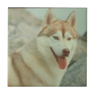 Teja roja del husky siberiano