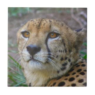 Teja salvaje del guepardo